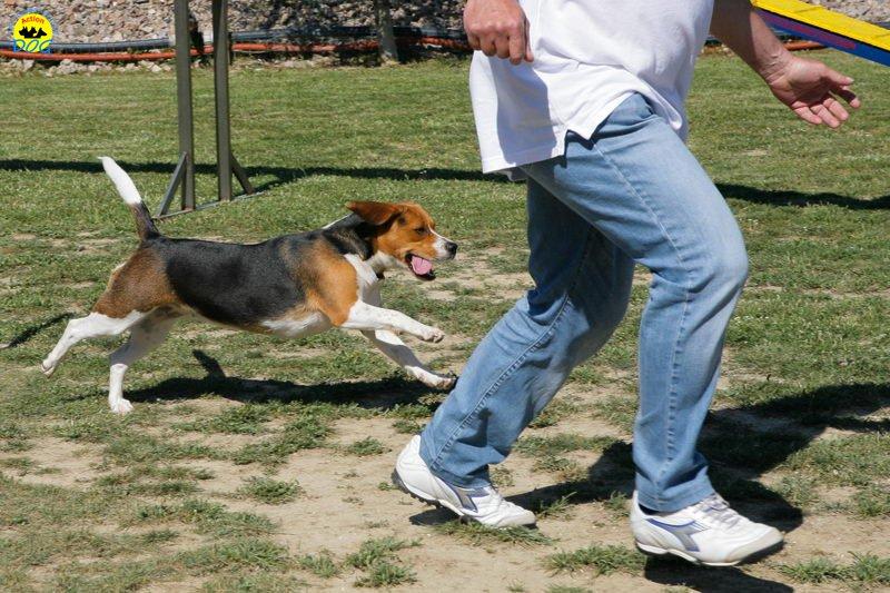 2-primo-trofeo-beagle-agility