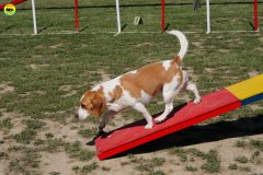16-primo-trofeo-beagle-agility