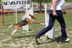 21-primo-trofeo-beagle-agility