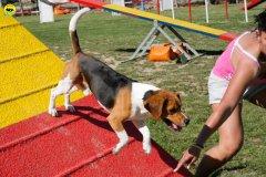 28-primo-trofeo-beagle-agility