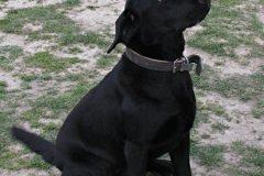 aretha-cucciolona-di-labrador