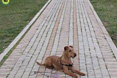 fianna-irish-terrier